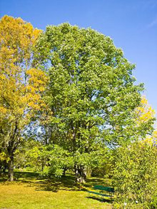 White ash tree in America