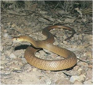 The Australian multicoloured Brown Snake