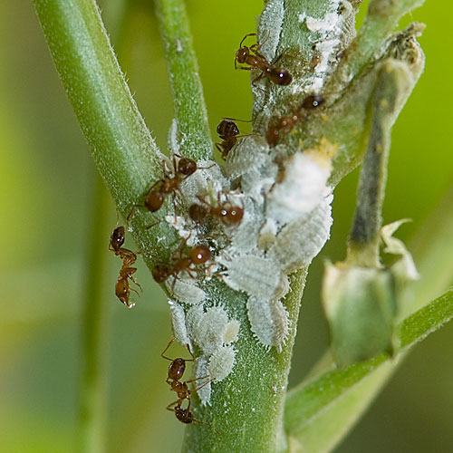 Mealy bugs can be removed with a Q-Tip soaked in alcohol.