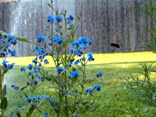Big bee flying by forget me not flowers
