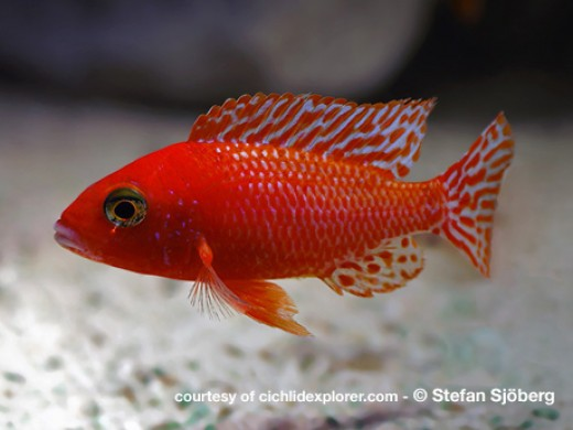 Dragon Blood Peacock Cichlid Colorful africa...