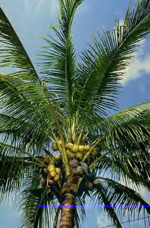 coconut tree