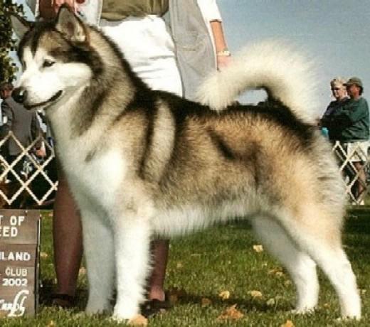 Alaskan+Malamute+Information+Breed