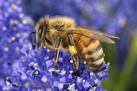 Image from: http://www.photos-of-the-year.com/image/nature/601/1554honey-bee.jpg