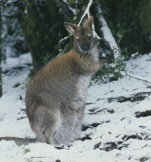The Bennett's Wallaby needs to have fur that is long and thick to survive the cold winters