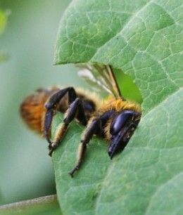 Leaf Cutting Bee