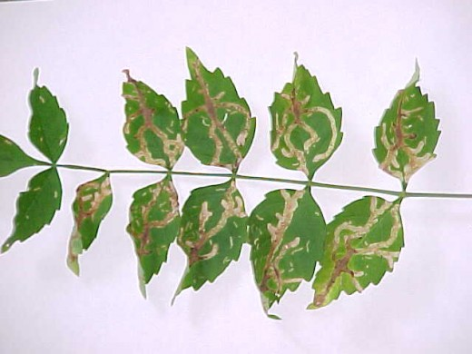 Damage caused by Leaf Miners