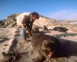 monitoring pinnipeds