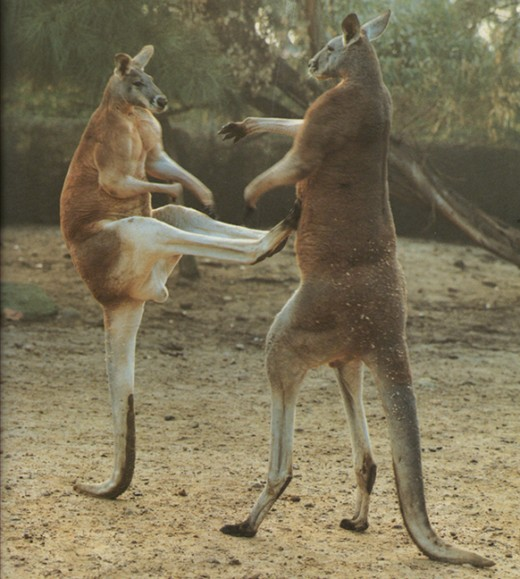 Two male Kangaroos testing each other out for 'alpha' dominance!