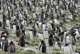 Gentoo Penguins in molting stage at Bluff Cove Penguin Colony