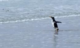 A Gentoo Penguin going for a swim