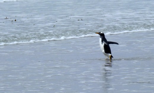 A Gentoo Penguin going for a swim
