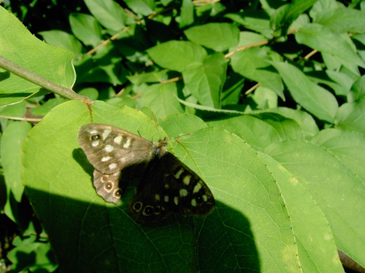 Speckled wood loves to bask in dapple light. Photograph by D.A.L.