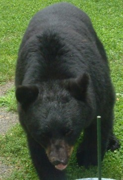 Hiking & Camping Safely in Black Bear Country