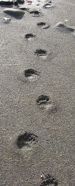Tracks of Ursus americanus, the American black bear, as seen in Brooks Peninsula Provincial Park in British Columbia, Canada.
