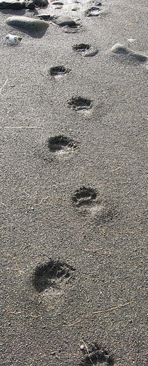 Tracks of Ursus americanus, the American black bear, as seen in Brooks Peninsula Provincial Park in British Columbia, Canada.