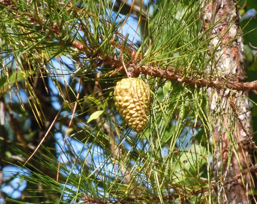 Golden Pine Cone