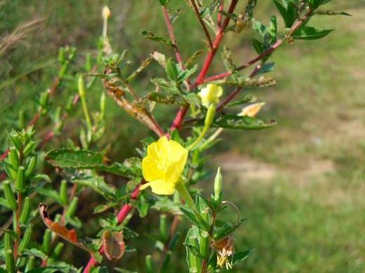 Wildflower - Jessamine