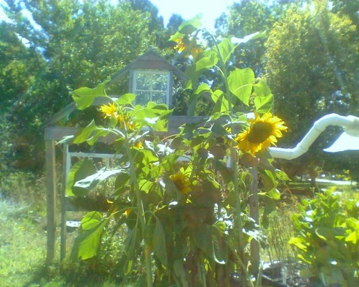Sunflowers tower over all the other plants on the stand, giving them some cool shade