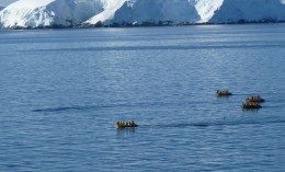 A group of Zodiacs (from a small cruise ship) following a group of Orca whales in Paradise Bay