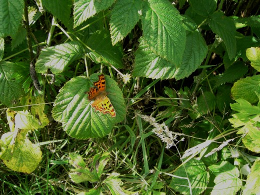 Comma butterfly. Photograph by D.A.L.