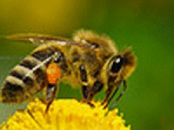 Wasps and Bees - How to treat stings