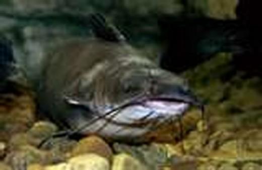 Buy Catfish Accessories Online