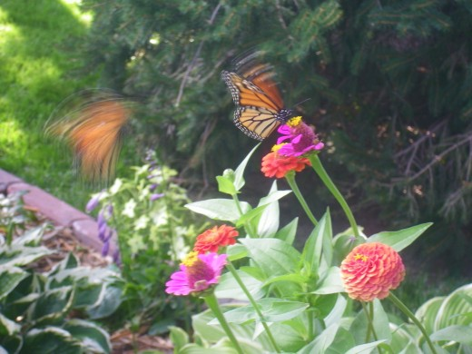 A Butterfly in Flight and one on the flower