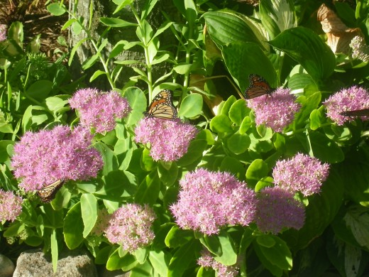 Two Monarch Butterflies enjoying the Sedum