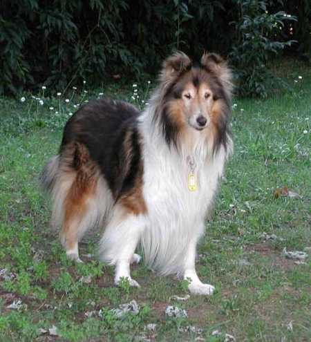 The collie was bred for a certain purpose and though they are now used as show dogs, the breed is kept up.