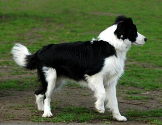The sheep dog was bred for the specific purpose of controlling herds of sheep and are still in unse.