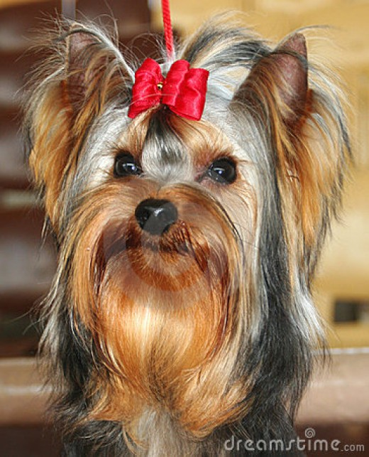 Some dogs are selectively bred like the Yorkshire terrier for their small size and cuteness as well as being ideal for city living and as a human companion.