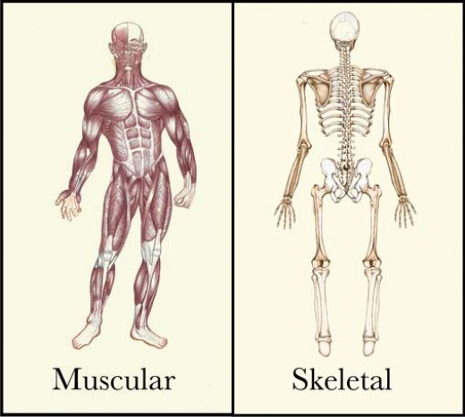 skeletal system and the muscular system The bones, joints and muscles work as a team to maintain our upright posture and allow ample movement the circulatory system and organs, including the brain, are dependent upon movement for their resistance to disease the adult skeletal system is made up of 206 bones, whereas babies have 350 bones.