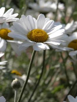 At certain times of the year, the wilderness surrounding the lake will be full of New Zealand Daisy's.