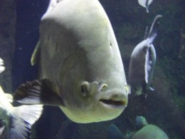 Pacu at 2 feet