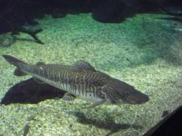 Shovel nose catfish at 2 feet