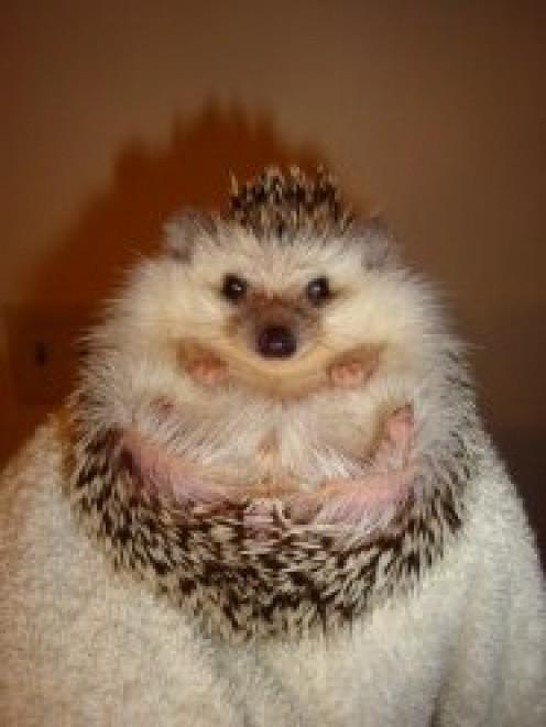 8 month old Salt & Pepper Hedgehog