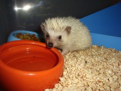 Chocolate Chip Hedgehog