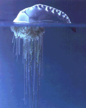 Portuguese Man-of-War Jellyfish