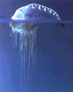 Portuguese Man-of-War Jellyfish