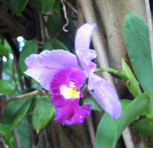 Orchid in Moody Garden rainforest pyramid,