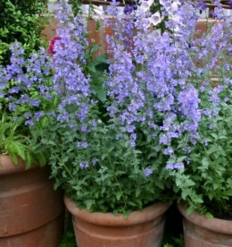 an attractive variety of catnip to grow