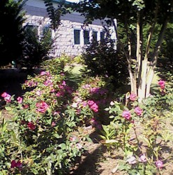 Bethesda Park:  Roses Outside Senior Center