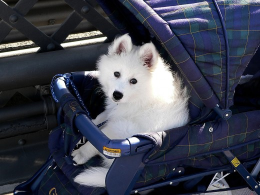 Exercise is excellent for a dog, but there are times when a dog stroller is necessary.
