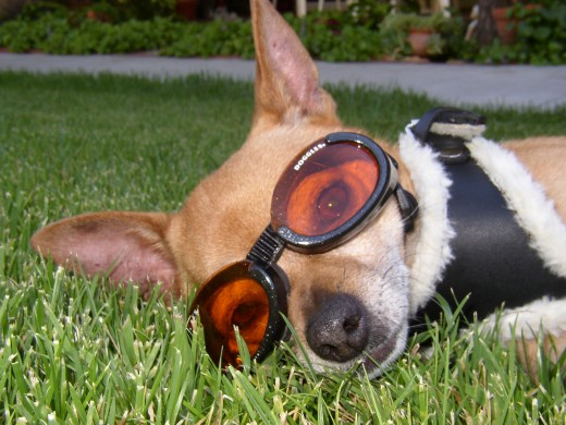 Whether your dog has eye health issues, or you just want him to look like an aviator, Doggles are for you!