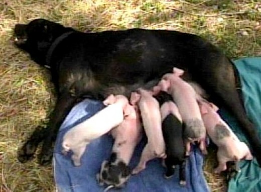 A litter of orphand pigs eating at their new dinner table!