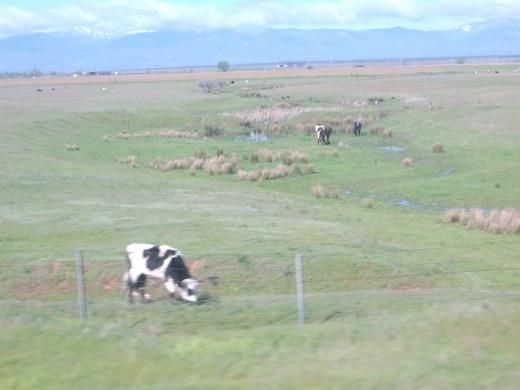 Look!!  It's the 'Happy Cow'