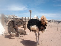 Ostrich Farm - The black on is a boy they greyish one girl (they liked each other, a LOT)