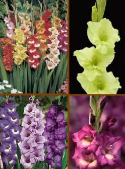 Gladiolus Flower Information and Meaning