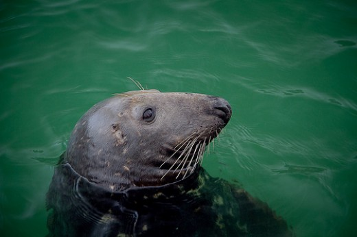 Newquay Beaches, Cornwall.  Newquay Harbour Seal.
